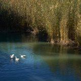 Patos en el río Segura.